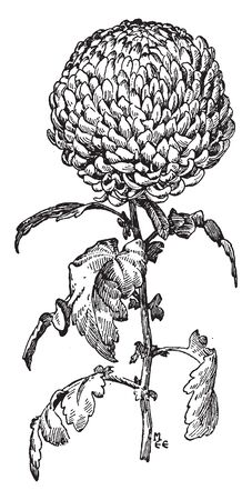 The image shows an Incurved Type of Chrysanthemum. These are the giant blooms of the chrysanthemum genus. The florets loosely incurve and make fully closed centers, vintage line drawing or engraving illustration.