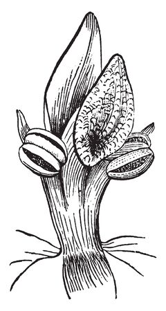 The Picture, thats showing, stamens united with it, the Anther of the two good stamens, an abortive stamen, Anther, stigma. Those are flower parts, vintage line drawing or engraving illustration. 向量圖像