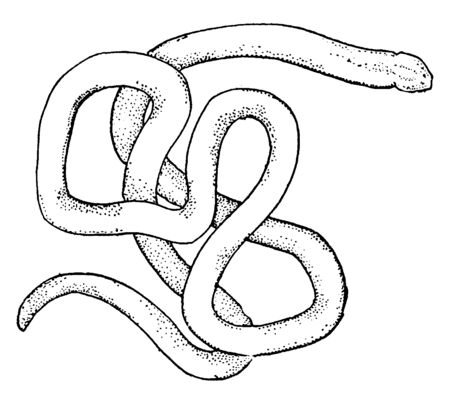 Nemetean is a phylum of invertebrate animals also known as ribbon worms or proboscis worms, vintage line drawing or engraving illustration.