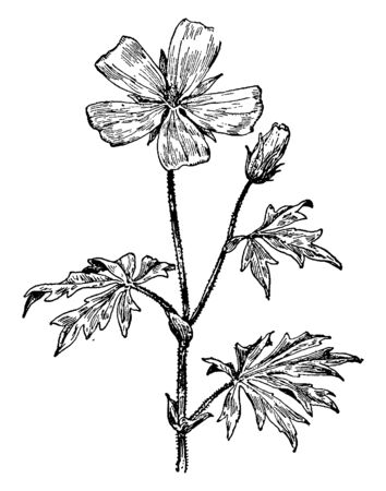 The plant which is in this picture looks like purple poppy-mallow, which is related to mallow family (Malvaceae); we can also call it Callirrhoe Involucrata, vintage line drawing or engraving illustration.
