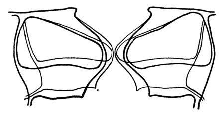 This image showing stoma guard cells. This is a type of plant cellular, vintage line drawing or engraving illustration.
