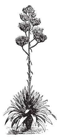 This is image of Agave. The plants are perennial and it is mostly found in North America, vintage line drawing or engraving illustration.