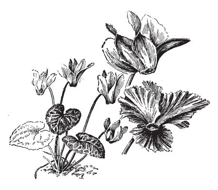 Cyclamen Persicum, the Persian cyclamen, is a species of flowering herbaceous perennial plant growing from tuber it also grows in Algeria and Tunisia it is a small and compact flowering pot plant, vintage line drawing or engraving illustration. Ilustração