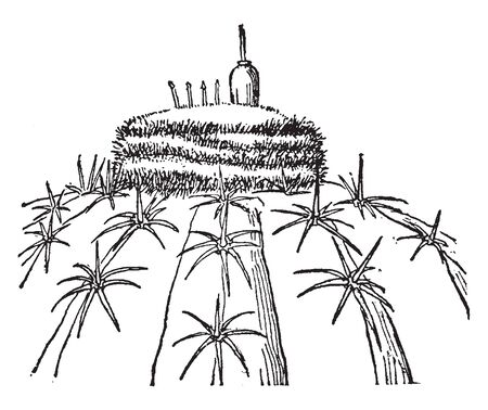 A picture showing the plant of Melon Cactus also known as Melocactus. The flowers are rosy red, vintage line drawing or engraving illustration.