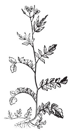 The picture showing Bitter Cress. Its stalk are alternate, basal leaves long stalked, flowers are small with four petals, vintage line drawing or engraving illustration. Ilustração