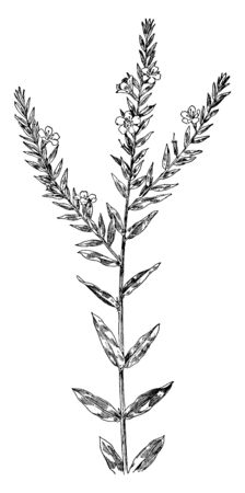 This Loosestrife is a flowering plant. Plants have narrow, stalk less leaves and showy purple flowers, vintage line drawing or engraving illustration.