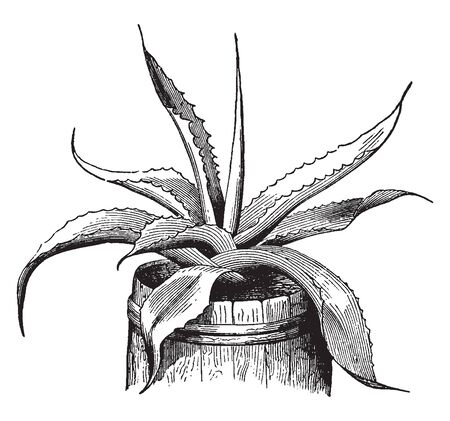 Century-plant is known as Agave but it typically only lives between 10 and 30 years, vintage line drawing or engraving illustration. Ilustração