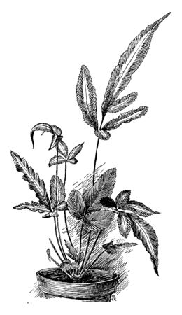 Pteris cretica is also known as Cretan brake, Cretan brake fern or ribbon fern. This is species of evergreen fern in the family Pteridaceae and native to Asia, Africa & Europe, vintage line drawing or engraving illustration.