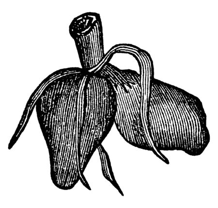 This picture showing a didymous root. The roots are thick and short. Roots attached to stems. The stems is rounded, vintage line drawing or engraving illustration. Ilustrace