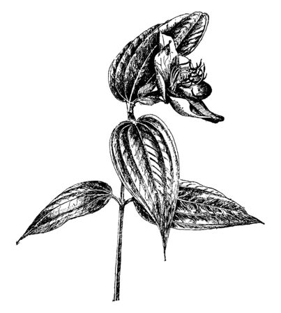 It is an evergreen Tibouchina Semidecandra shrub which is mostly found in Brazil, vintage line drawing or engraving illustration. Vector Illustratie