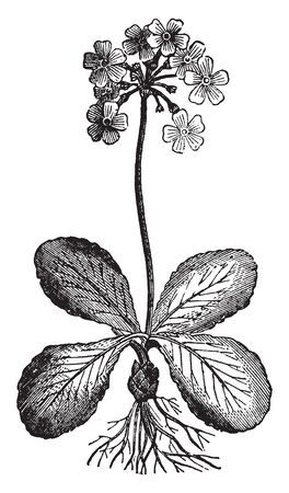 Flowers grow in rounded cluster or bunch, flower stalk is very long, leaves shaped oval and stalk less, vintage line drawing or engraving illustration.