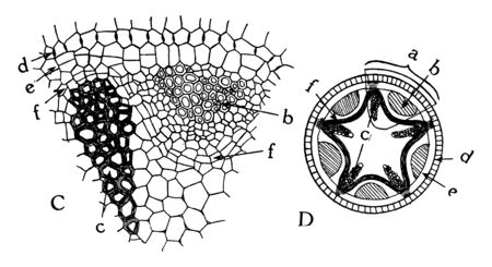 This image showing a radial Vascular bundle. The diagram C is a part of Vascular and D diagram is full Vascular image, vintage line drawing or engraving illustration.