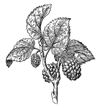Picture shows the Mulberry with its tree. Morus, a genus of flowering plants in the family Moraceae. The closely related genus Broussonetia is also commonly known as mulberry, vintage line drawing or engraving illustration.