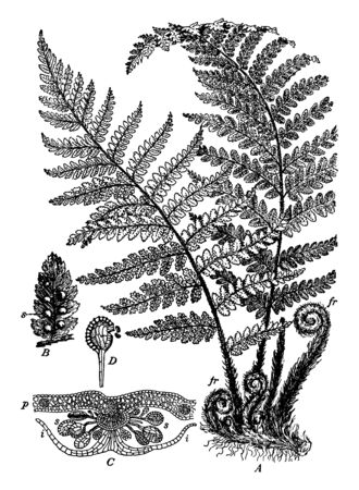 Fern spores are the tiny genetic bases for new plants, vintage line drawing or engraving illustration. 向量圖像