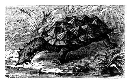 Bearded Tortoise lives in stagnant water and is altogether remarkable for its singular appearance, vintage line drawing or engraving illustration. Ilustração
