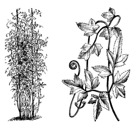 This is Habit, Portion of Detached Frond of Lygodium Japonicum.Vines formed from branches arise from underground rhizomes, which are slender, black & wiry, vintage line drawing or engraving illustration. Ilustração