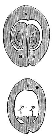 The image is showing cross section of the ovary of Actaea Spicata, vintage line drawing or engraving illustration. 矢量图像