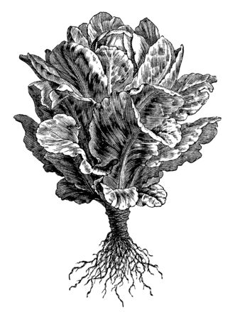 This picture showing a Cos lettuce. The leaves are long and straight. The leaves are attached to trunk. Root is thin and long this type of vegetable, vintage line drawing or engraving illustration. Stock Illustratie