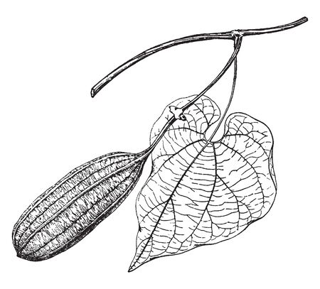 Picture show Aristolochia Grandiflora Plant. It produces large solitary flowers from cordiate leaf axils. Leaves are heart shaped. Common names of aristolochia grandiflora are pelican, swan, goose flower, vintage line drawing or engraving illustration.