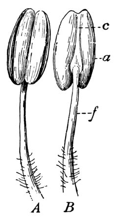 A picture showing different parts of a stamen. The parts are anther, connective and filament, vintage line drawing or engraving illustration. Иллюстрация