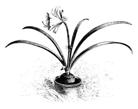 This picture represents Hymenocallis Andreana flower grows thin & its leaves are pale green flowers are one & half feet tall, vintage line drawing or engraving illustration.