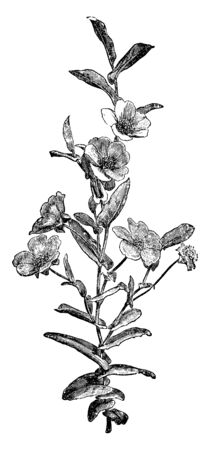 Picture shows the Hibbertia Perfoliata plant with its flowering part. Each flower has 5 to 6 petals. Leaves are long and in heart shape, vintage line drawing or engraving illustration. Illusztráció