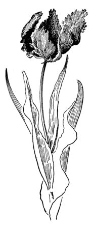 The image shows Parrot tulip perennial belongs to the Tulipa, native to south Europe. These whimsically-shaped, colored tulips have been developed from mutations of certain late-flowering tulips, vintage line drawing or engraving illustration.