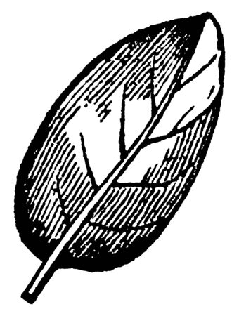 This is ovate leaf. An ovate leaf is described as being broadest below the middle and a simple way to remember this leaf that it is egg-shaped, vintage line drawing or engraving illustration.