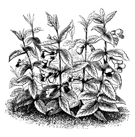 Bastard balm is a species of flowering plant. Leaves are oval type and margin is serrate and flowers grow on stem node, vintage line drawing or engraving illustration.