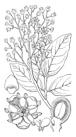 A picture shows the Part of Soapberry Flowering Plant. 1 shows Flower, 2 shows Petal, 3 shows the ovaries before fertilization, 4 shows a vertical section of a ripe drupe called embryo, vintage line drawing or engraving illustration.