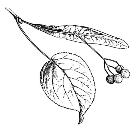 A picture showing a branch with Tilia Fruit which is a fruit of Linden, with a bract joined to the peduncle and forming a wing, vintage line drawing or engraving illustration. Ilustração