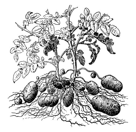 This is the Potato Plant. It is vegetative propagated by means of tubers. The leaves are alternate and compound. The growth is restricted and it has eyes over it, vintage line drawing or engraving illustration.