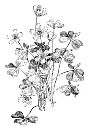 A picture shows the Wood Sorrel Flower Plant. It belongs to Oxalidaceae or Oxalis Acetosella and it has tiny yellowish flower. Leaves are multiple lobed, heart shaped leaves are sometimes eaten, vintage line drawing or engraving illustration.