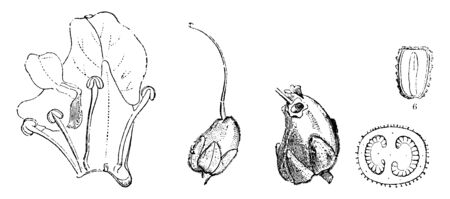 Picture shows parts of Snapdragon Plant. Part 2 shows corolla of Antirrhinum majus cut open, part 3 shows pistil, part 4 shows ripe fruit, part 5 shows cross section of its ovary, part 6 shows seeds, vintage line drawing or engraving illustration. 矢量图像