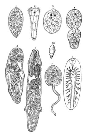 Liver Fluke Stages where adult fluke lay eggs that are passed out onto pasture in the faeces, vintage line drawing or engraving illustration.