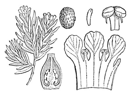 Flowering pixiemoss, is a species of flowering plant. In this picture are showing a anther, seed, embryo, and perpendicular section of the ovary, vintage line drawing or engraving illustration.