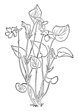 A picture, thats showing a viola Rostrata plant. This plant is small. This is from Violaceae family. The flowers are violet and petals are long thin, vintage line drawing or engraving illustration.