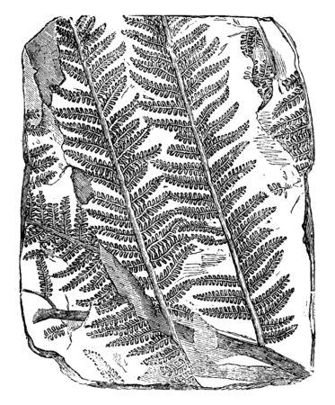 A picture of Fossil Tree Fern. Plants that flourished on earth millions of years ago are perfectly preserved as fossils, vintage line drawing or engraving illustration.