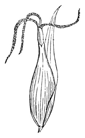 Its look like bud and it is a common species of sedge, vintage line drawing or engraving illustration.