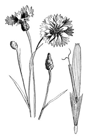 A picture is showing Dandelion Floret, also known as Taraxacum. It belongs to Asteraceae family. This is species of dandelion plants, vintage line drawing or engraving illustration.