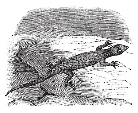Variegated Gecko is a small gecko with a moderately slender and well patterned body, vintage line drawing or engraving illustration.