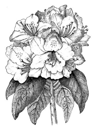 An image is of Rhododendron Ponticum flowering plant. it is used as an ornamental plant. It is commonly found in Asia, vintage line drawing or engraving illustration. Stockfoto - 132880218