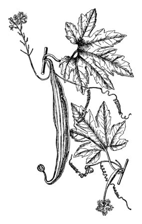 A picture is showing the Tropic vine of Trichosanthes Anguina having long fruits used for medicinal purposes, vintage line drawing or engraving illustration. Ilustracja