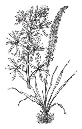 Camassia Cusickii is a flowering plant. Its leaves are linear and flowers are pale blue, vintage line drawing or engraving illustration. Ilustrace