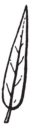 The leaves is very sharp and peak, there is vein of leaves, and stalk are there, vintage line drawing or engraving illustration.