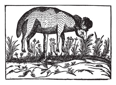 Scythian Lamb is known as cibotium barometz and it is found in to China, vintage line drawing or engraving illustration. Stockfoto - 132902459
