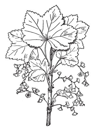 This image of a common currant. The stams are thin and rounded. The leaves are sharp . The flower are starting to growing. The flower is small. flower are dense, vintage line drawing or engraving illustration. 向量圖像