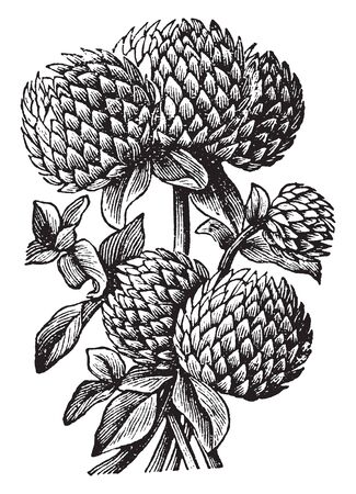Clovers are generally short-lived herbs and feature alternate compound leaves. The flowers are white or pinkish, becoming brown and deflexed as the corolla fades, vintage line drawing or engraving illustration. Ilustração