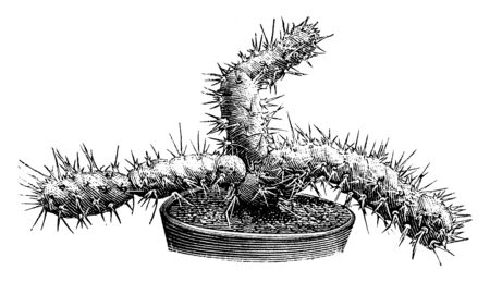 A picture showing the plant of Optunia Brachyarthra which is a variety of prickly pear. The flowers are very small, vintage line drawing or engraving illustration. Иллюстрация
