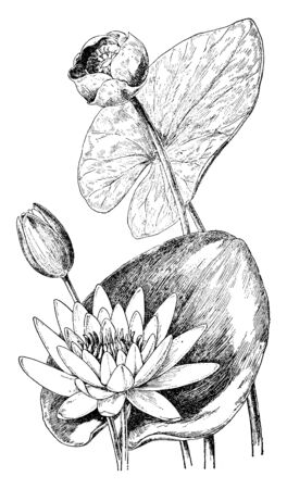 Nuphar lutea, the yellow water-lily, or brandy-bottle, is an aquatic plant of the family Nymphaeaceae. It is yellow color plant. As illustrated in picture of yellow water lily and water lily, vintage line drawing or engraving illustration.